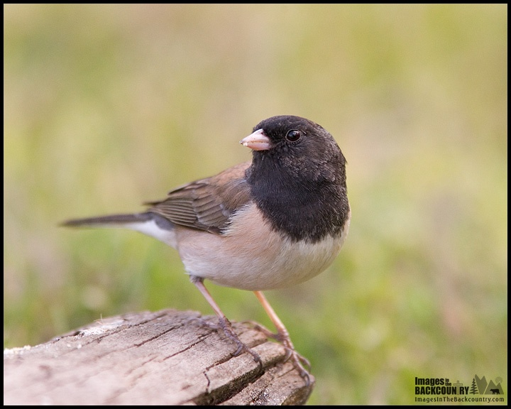 "Dark-eyed ""Oregon"" Junco Today"