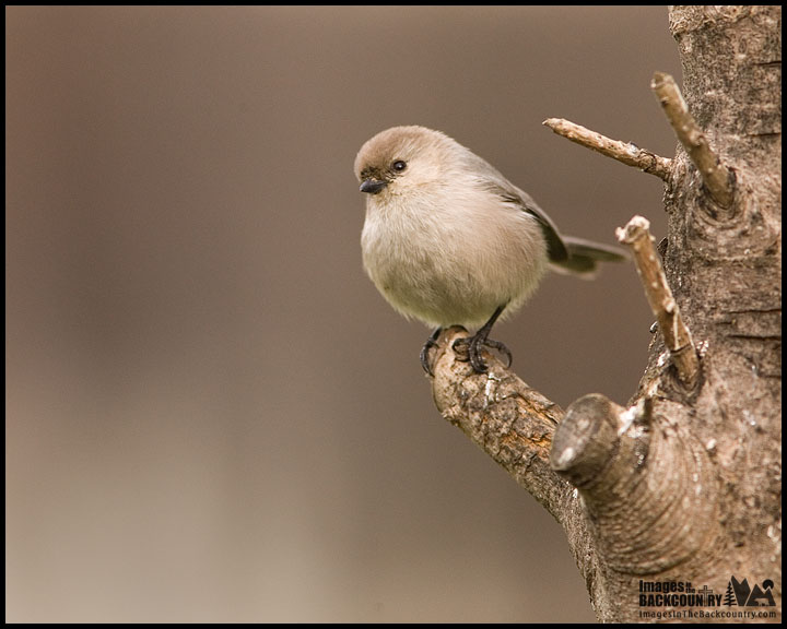 Male Bushtit - My First!