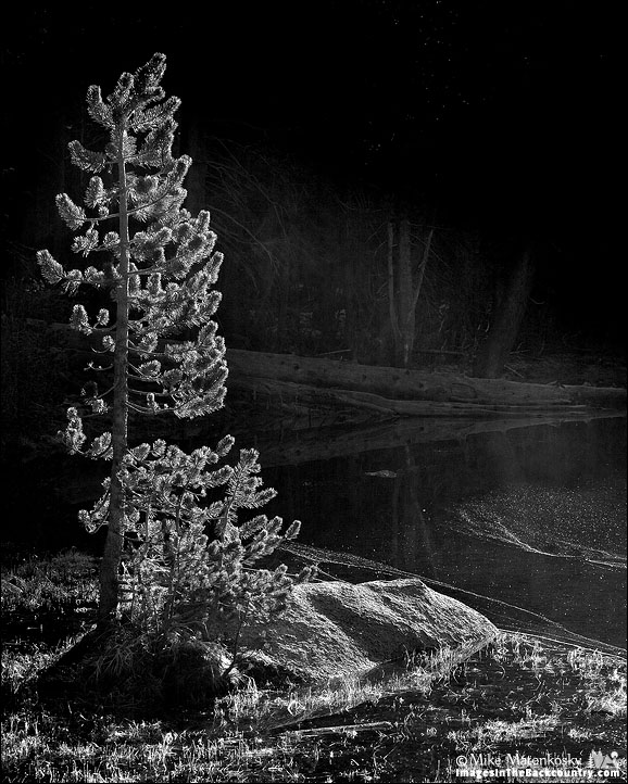 Small tree in black and white
