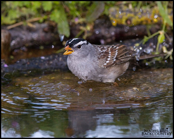 A White-crowned Sparrow taking an evening bath