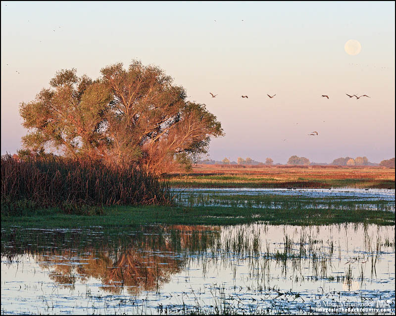 A flock of Sandhill Cranes flying by the last light of the full moon.