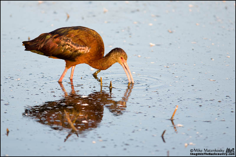 A picture of a White-faced Ibis feeding.