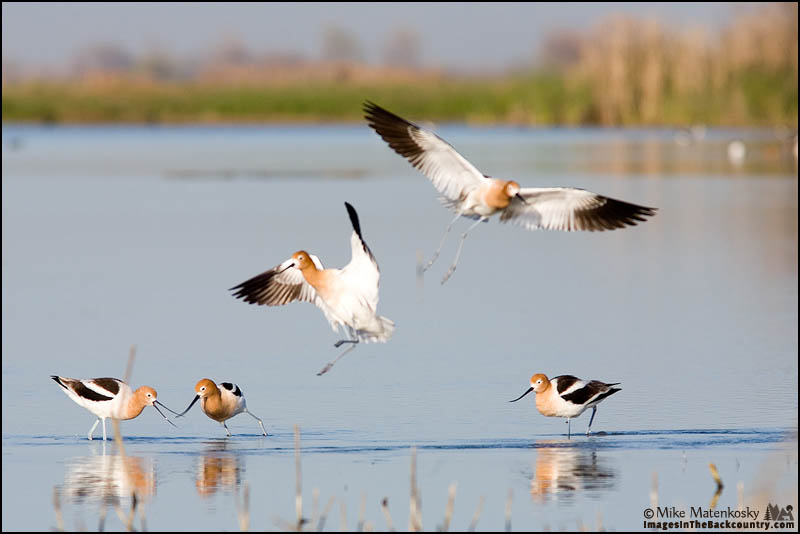 A picture of a group of American Avocets.
