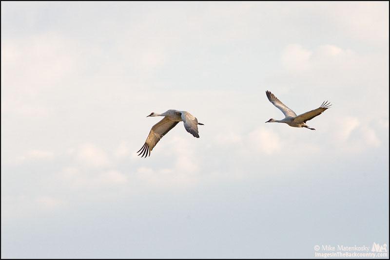 Sandhill Crane ~ Grus canadensis