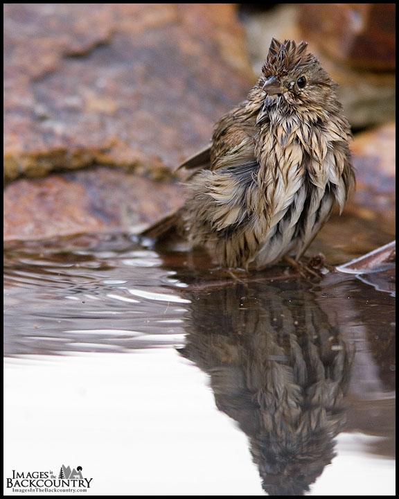 A Lincoln's Sparrow Taking a Bath