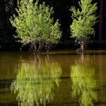 Light on two trees by the Merced River in Yosemite