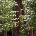 Doogwood blooms and Redwoods in Yosemite