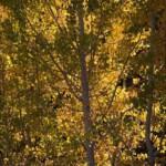 Fall Colors Around June Lake Loop